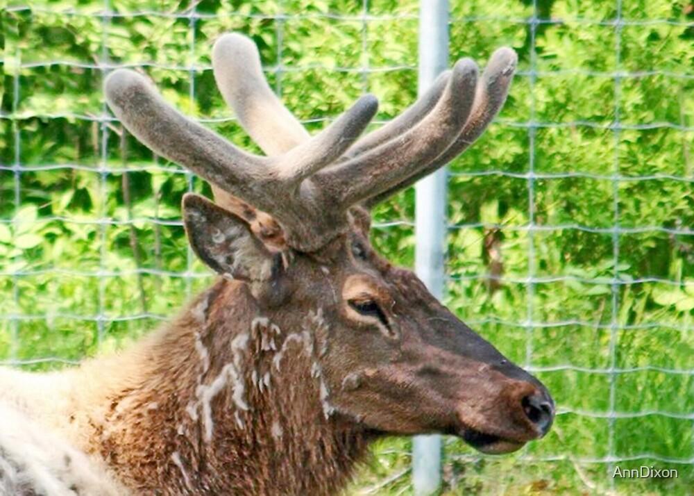 Elk in Velvet by AnnDixon