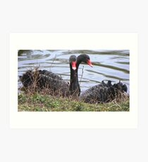 Black Swans - Mork And Daisy Entwined Art Print