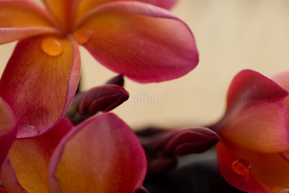Frangipani by afby