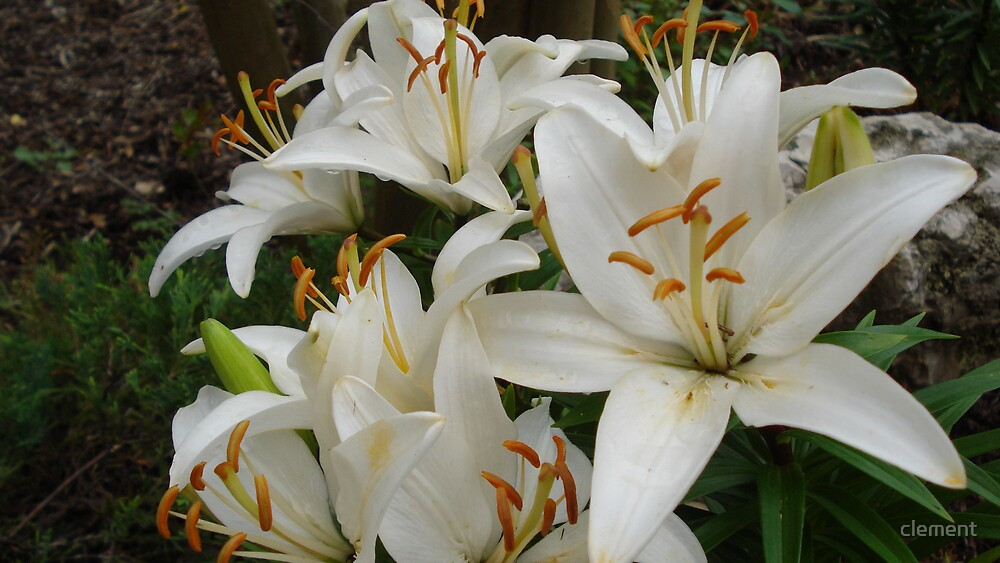 Asiatic lily by clement