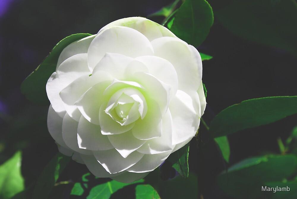 Camillia - White by Marylamb
