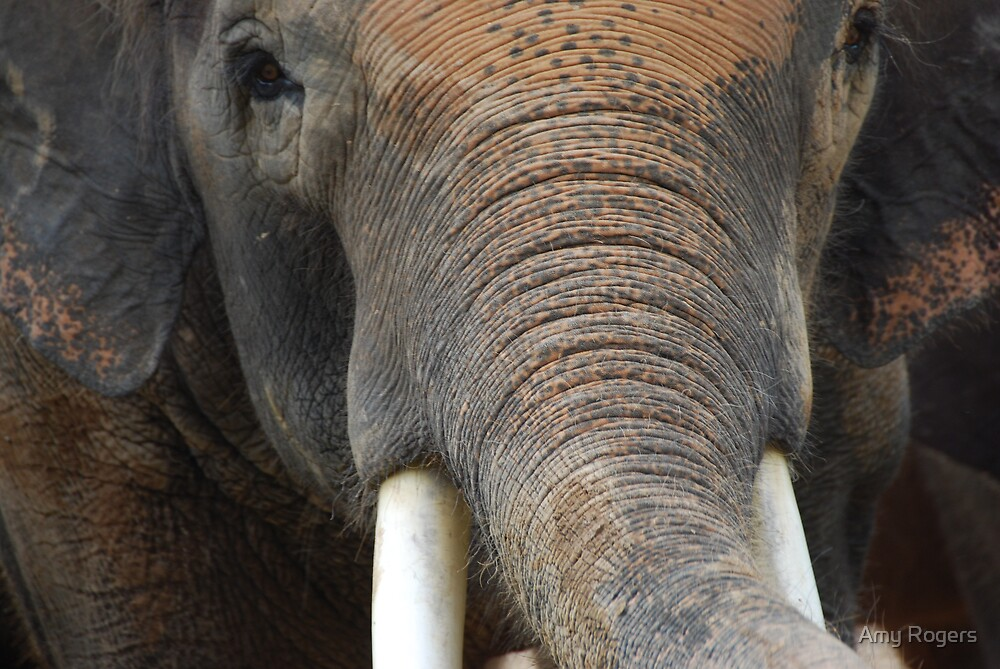 Asian Elephant B by Amy Rogers