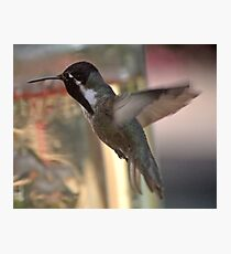 BLACK CHINNED ANNA'S IN FLIGHT Photographic Print