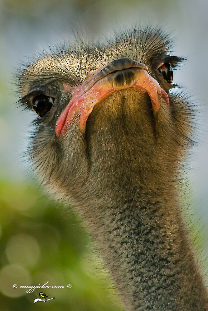 Ostrich Faces Up by Maggiebee