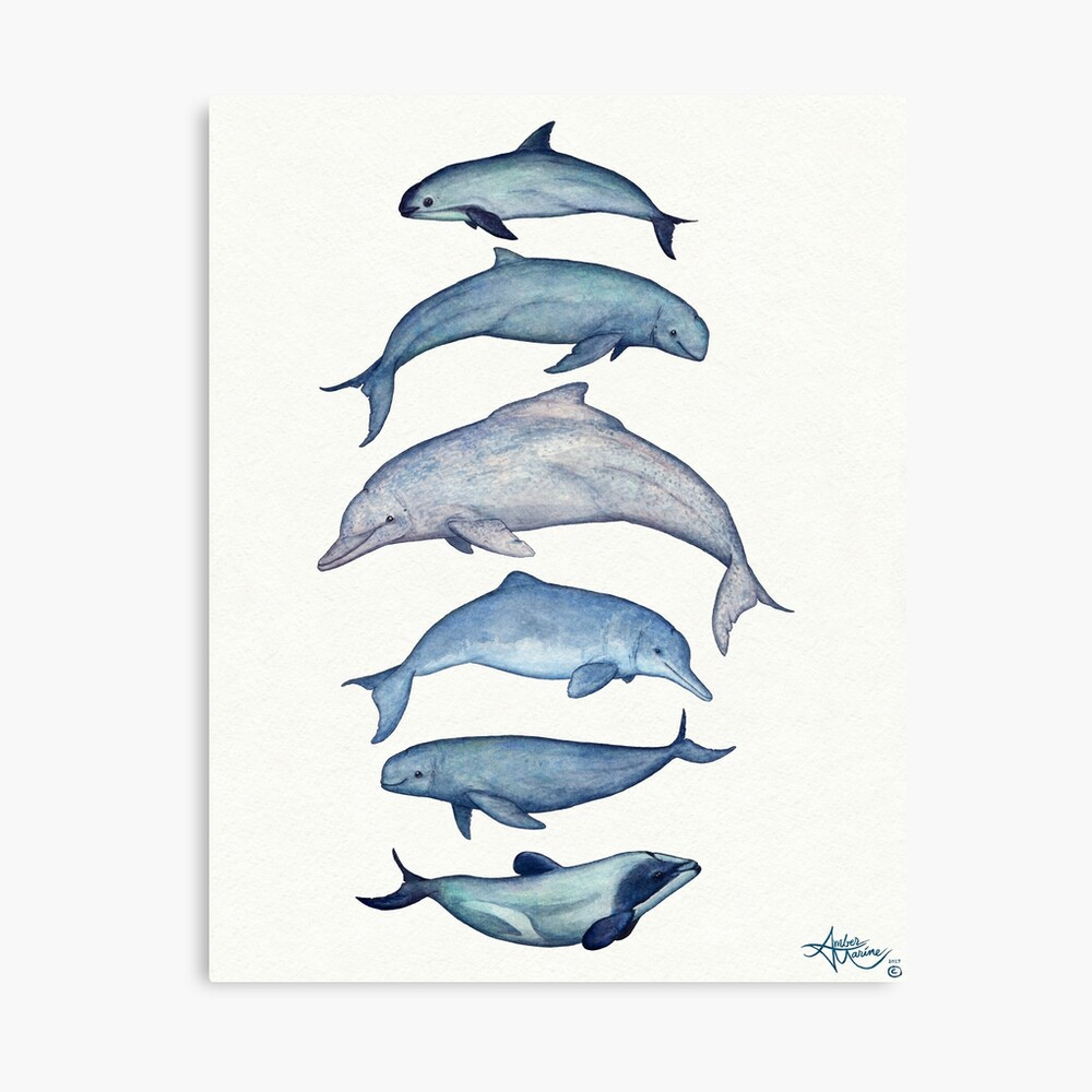 """""""Rare Cetaceans"""" by artist Amber Marine ~ (Copyright 2017) Watercolor dolphins and porpoises, © 2017 - Vaquita, irrawaddy, maui's, humpback, finless, baiji Canvas Print"""