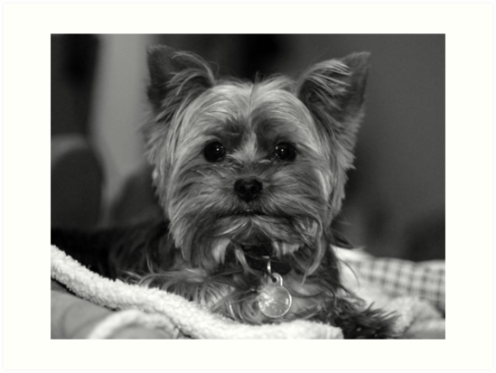 Yorkie black white by ryan houston