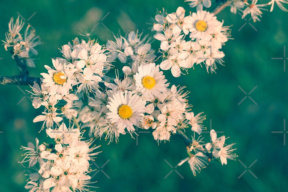 Daisies and Blackthorn Blossom by heidiannemorris