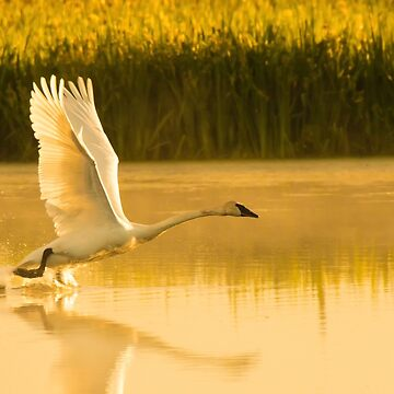 White Swan in Golden Light by montanaartist