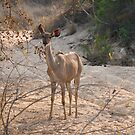 Greater Kudu female by Erik Schlogl