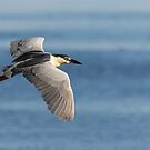 Black-crowned Night Heron 2017-7 by Thomas Young