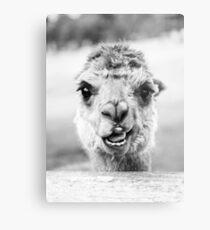 Alpaca in a field. Black and White  Metal Print