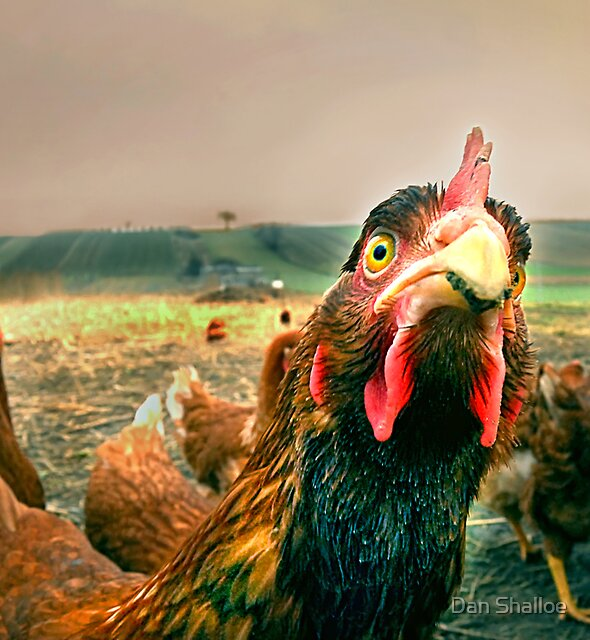 chicken attitude by Dan Shalloe