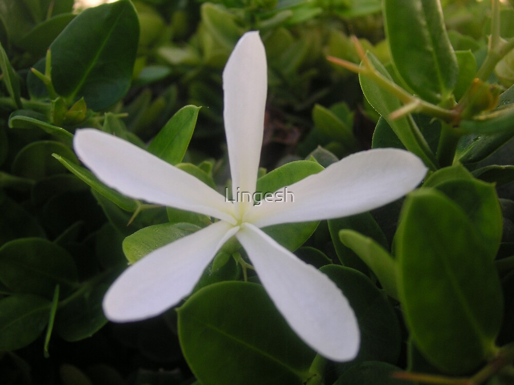 White Star flower by Lingesh