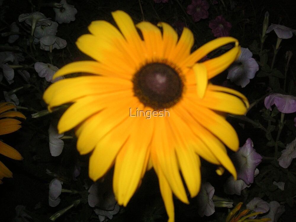 Sunflower  by Lingesh