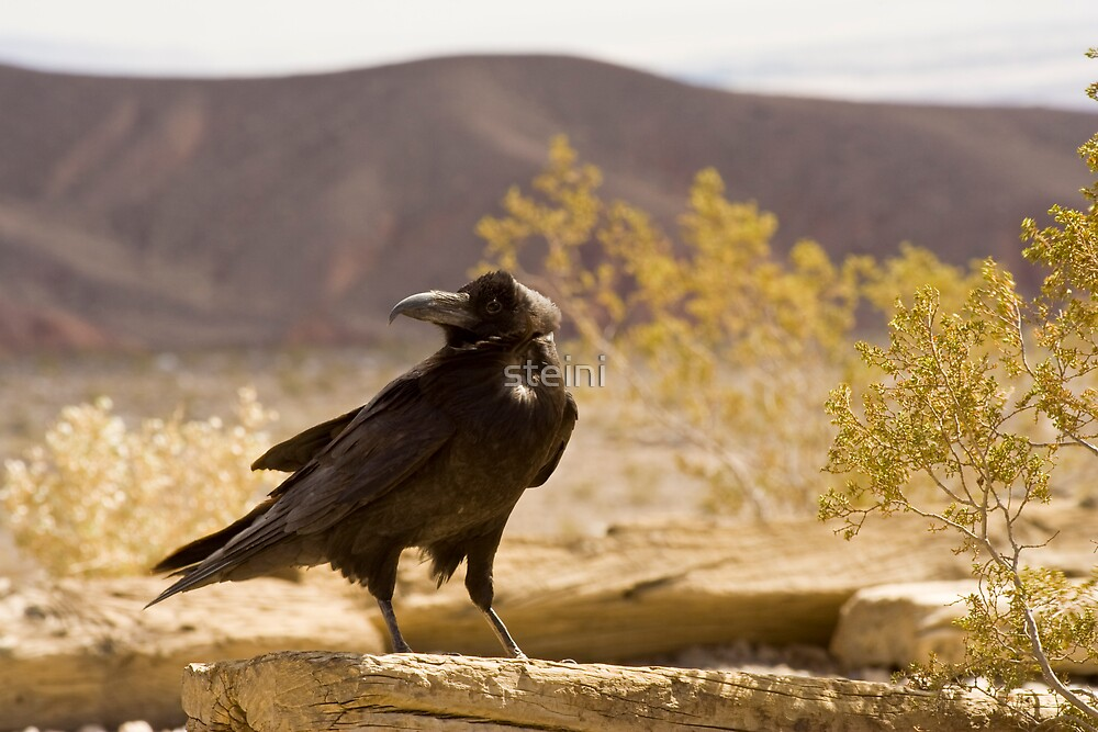 Raven in Death Valley by steini