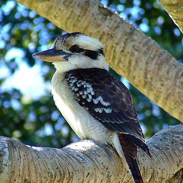 Kookaburra.. by debsphotos