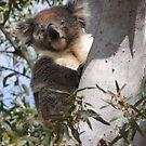 Koala - Coromandel Valley, South Australia by Dan Monceaux