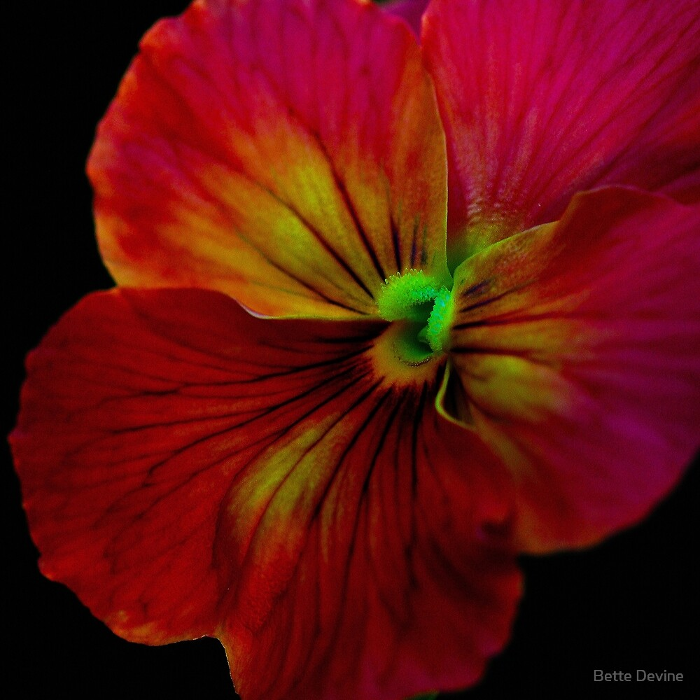 Precocious Pansy. by Bette Devine