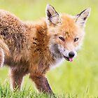Red Fox by Dominika Aniola