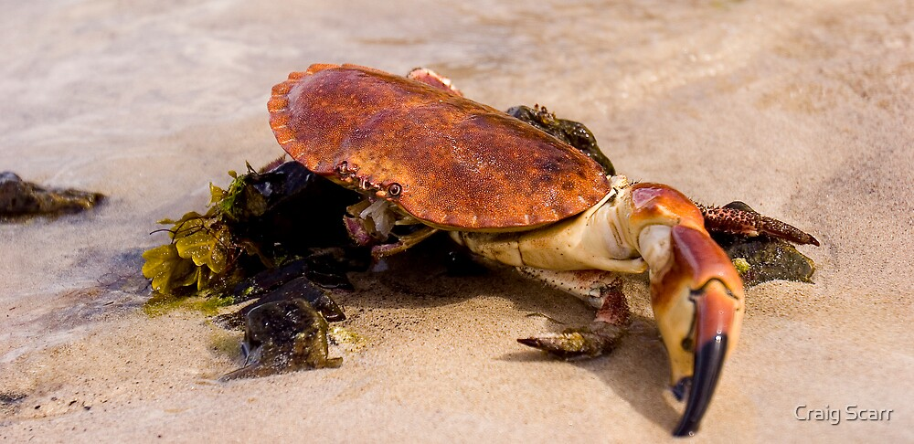 Crab by Craig Scarr