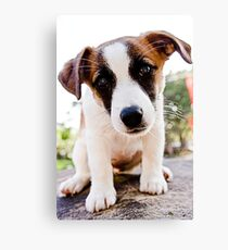 Little Jack Russell Puppy Canvas Print
