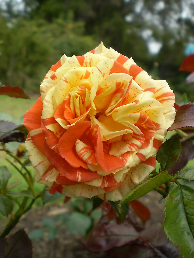 Orange and Yellow Rose by veevixen