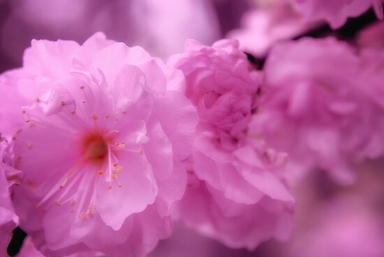 Flowering almond bush pink 2 posters by gypsykiss redbubble flowering almond bush pink 2 by gypsykiss mightylinksfo