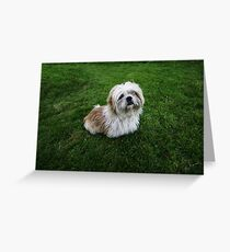 Cute Shih Tzu in the grass Greeting Card