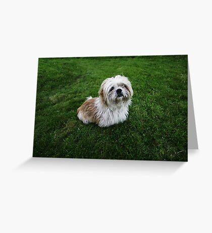 Cute Shih Tzu in the grass Greeting Card