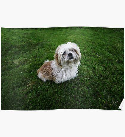 Cute Shih Tzu in the grass Poster