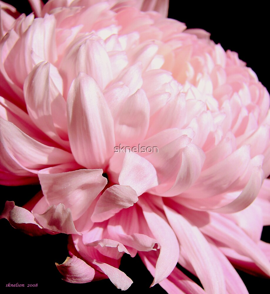 In the Pink by sknelson