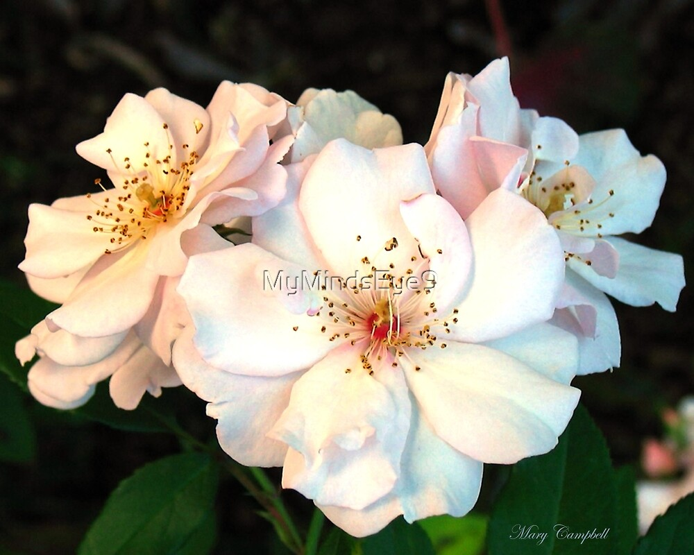 Old Fashioned Roses by Mary Campbell