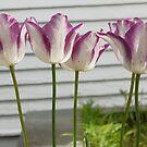Fashion Tulips by Kenneth Hoffman