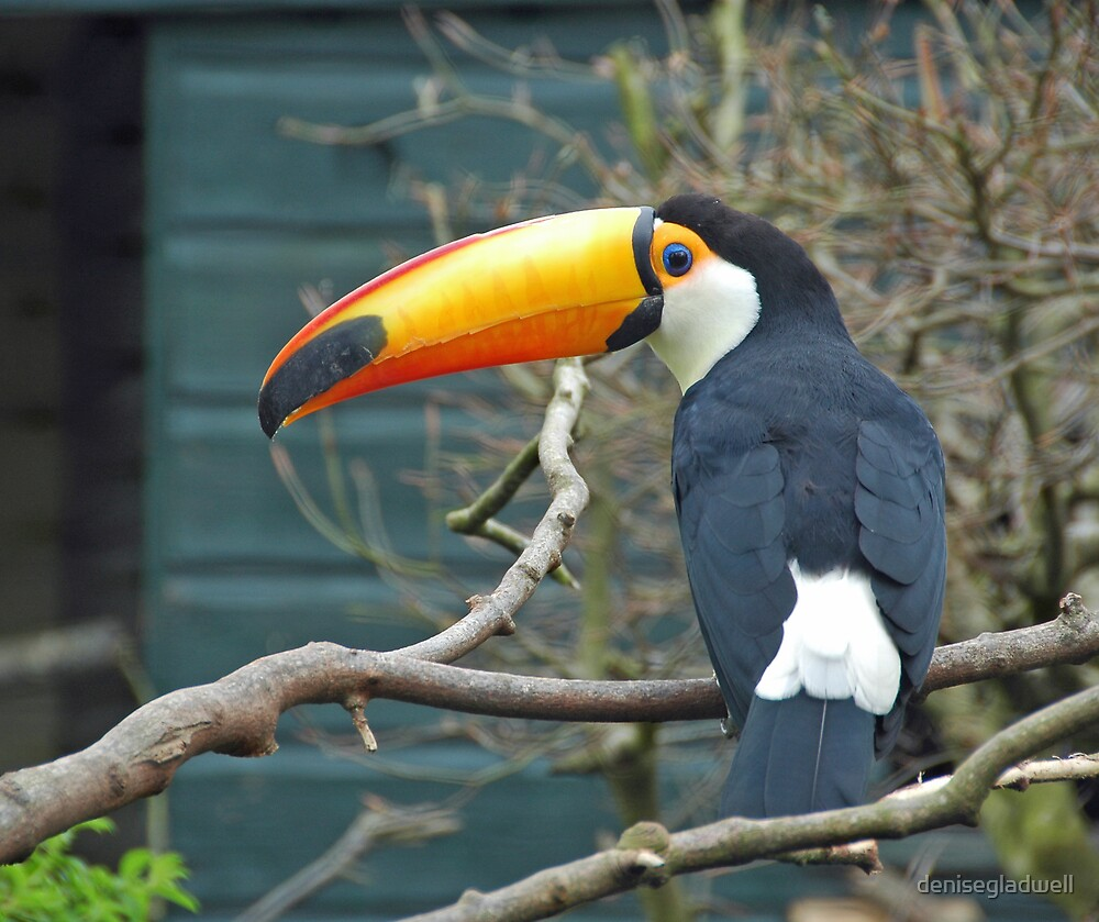Toucan by denisegladwell