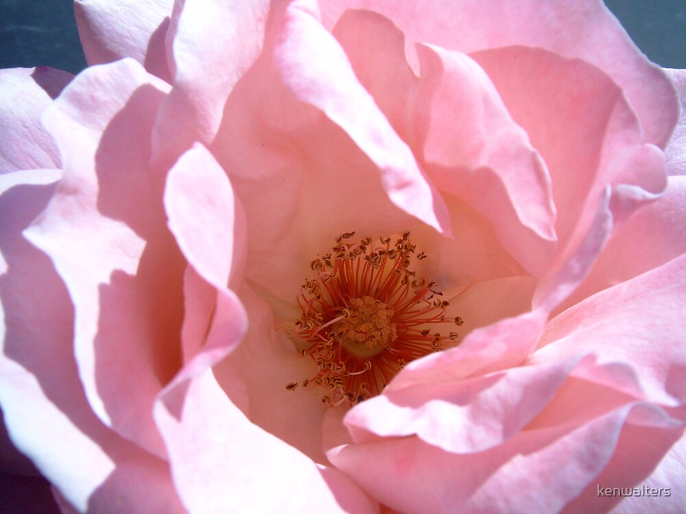 Pale pink rose by kenwalters