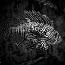 Pterois Volitans - Red Lionfish  by © Sophie W. Smith