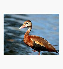 Black Bellied Whistling Duck Photographic Print