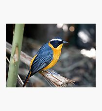 White Browed Robin Chat Photographic Print