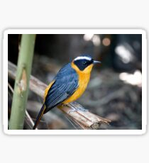 White Browed Robin Chat Sticker