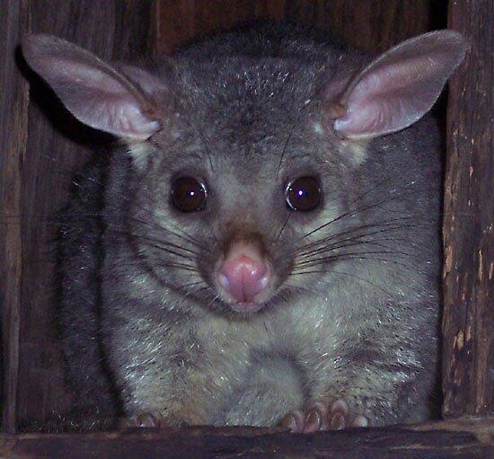 Possum close up by littleeagle5