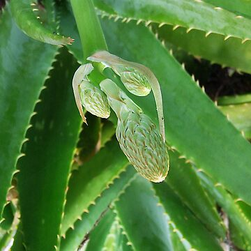 Aloe's Buds... by debsphotos