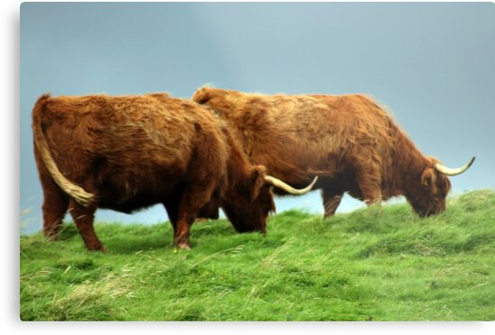 Highland Cattle by Catherine Maughan