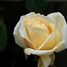 A single Rose at its best.......!! by Roy  Massicks
