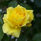 Golden glow of the last Rose......!!! by Roy  Massicks