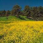 Yellow Summer by Alla Gill