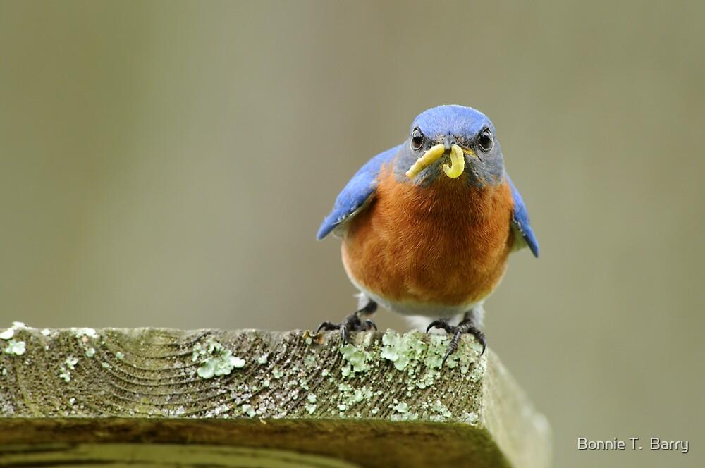 Daddy Bluebird bringing home supper by Bonnie T.  Barry