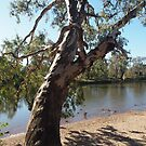 River Gum Murray River by Tom McDonnell