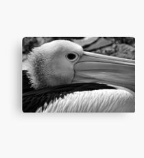Australian Pelican Canvas Print
