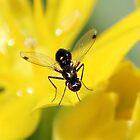 Tiny Fly - Sepsis cynipsea by AnnDixon