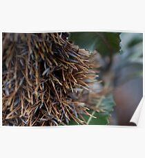 Banksia Man Poster